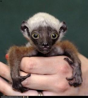 SQUEE- Baby Langur