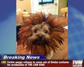 Breaking News - Yorkie puppy refuses to come out of Simba costume for production of THE LION KING