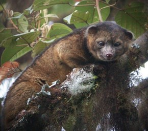 New Mammal the Olinguito