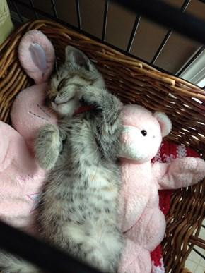 Kitten Comfort