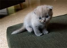 (LAST ROLEPLAY KITTEN) Marcus! The Scottish Fold!