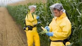 GMO Corn, So safe it has to be picked in a hazmat suit!