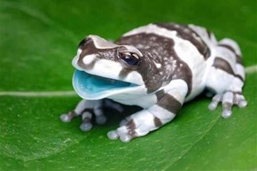 One Happy Milk Frog