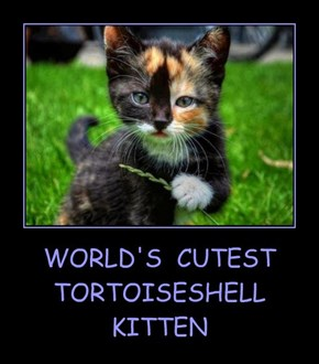 WORLD'S  CUTEST  TORTOISESHELL  KITTEN