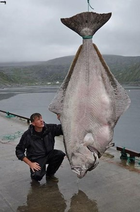 Record 513lb Halibut caught in Norway