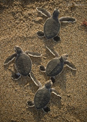 Three Bebeh Turtles