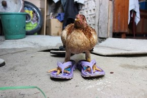 How Did The Chicken Cross the Road? In Flip Flops, Clearly