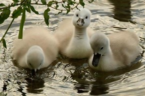 Beautiful Cygnets Taking a Swim