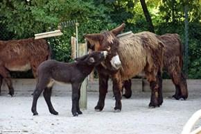 Poitou Donkeys