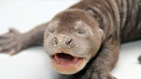 Giant River Otter Baby is Adorabz!
