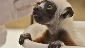 Baby Lemur Just Wants to Watch