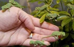 Charming Chameleons