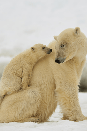 Polar Bear Cub and Mama Bear