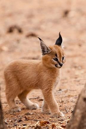 Kewt Caracal Kitten
