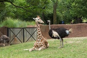 Ostrich scolds Giraffe to move
