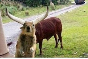 SQUEE-Longhorn Photobomb