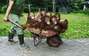 Barrow full of monkeys