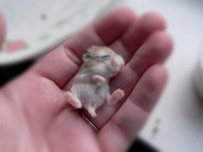 Darling Baby Hamster