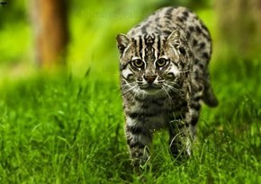 The Elusive Fishing Cat