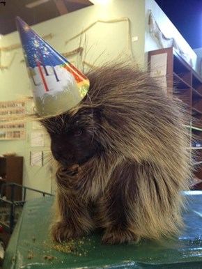 Porcupine Birthday Party