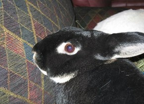 Shadow, One of my Rabbits.