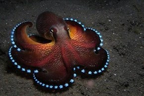 Glowing Blue Coconut Octopus