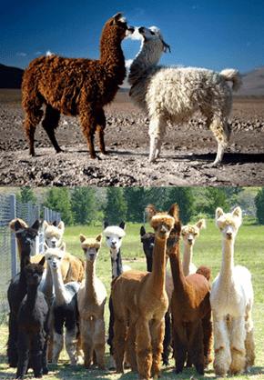 Squee Spree: Llamas vs. Alpacas