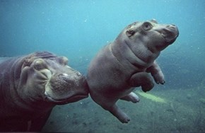 Mama Hippo Gives a Helping Nudge