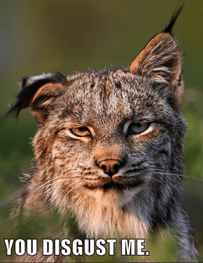 This Bobcat is Not Grinning