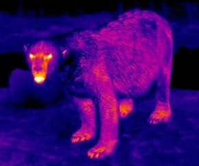 Infrared Polar Bear