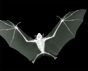 Night Vision Infrared bat Photo