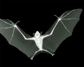 Night Vision Infrared bat Photo