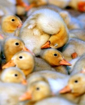 Snugglepufflings!
