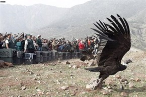 Rehabilitated Condor Release, Chile