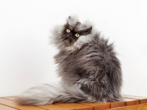 Colonel Meow Officially the Furriest Cat in the World