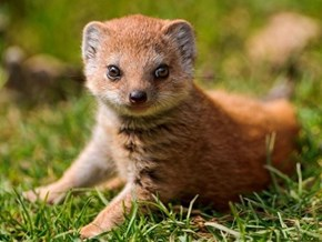 This is One Cute Baby Mongoose!