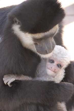Baby Monkey or Tiny Grandpa