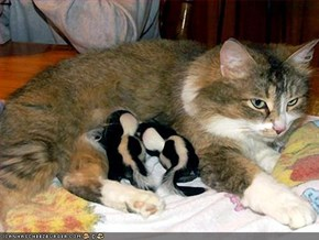 Foster Catmom adopts baby skunks