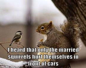 I heard that only the married squirrels hurl themselves in                        front of cars