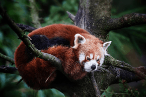 Grumpy Red Panda has a Case of the Mondays