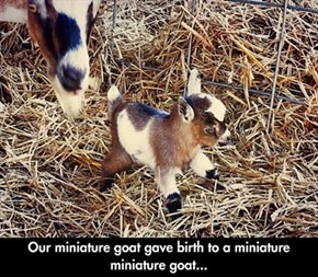 A Mini-Mini Goat!