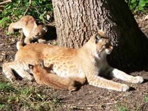 Lynx Mama Feeding Her Cubs