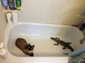 Gators and Cats, Baithing In Harmony!