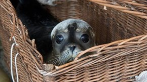 Seal pup in a basket