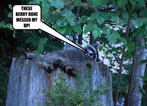 ROCKY RACCOON GETS BLITZED!
