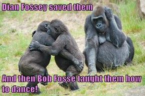 Dian Fossey saved them  And then Bob Fosse taught them how to dance!