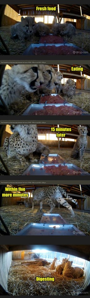 Cheetah Feeding Time Metro Richmond (VA) Zoo (Mom and 5 Cubs born Oct. 2013)
