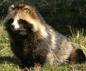The Fluffy Raccoon Dog is Super Squee!