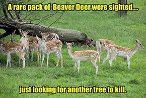 A rare pack of  Beaver Deer were sighted....