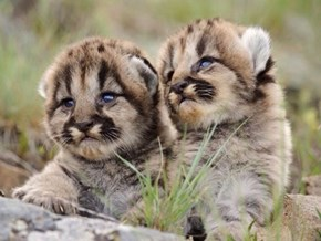 Twin Cubs